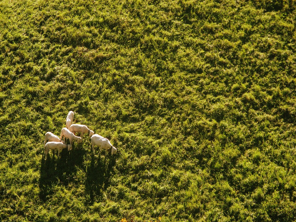 Free Photo Sheep Meadow Aerial View Drone Free Image