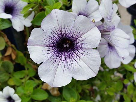 petunia  free images on pixabay, Beautiful flower