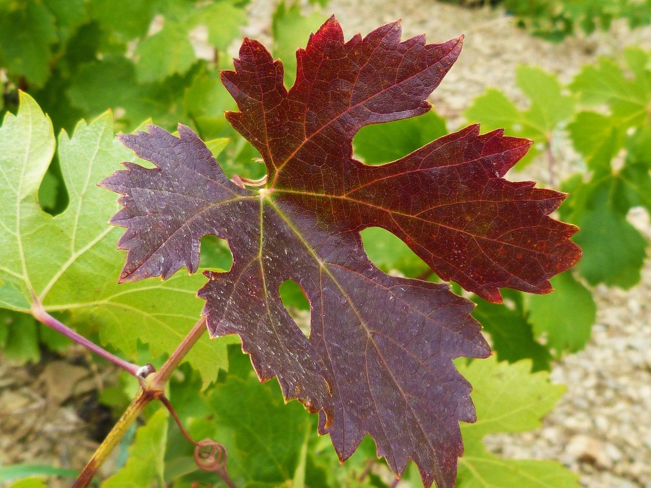 фото листа винограда затрагивают самые разные
