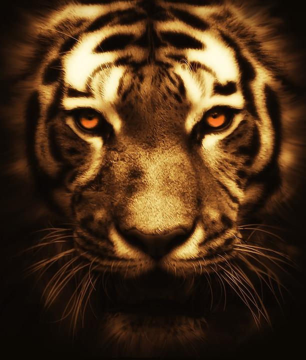 free photo  cat  tiger  animal  wildlife  wild