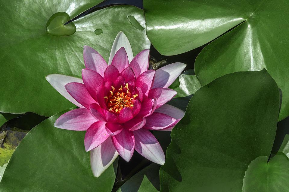 Water Lilies Lotus Aquatic Plants Free Photo On Pixabay