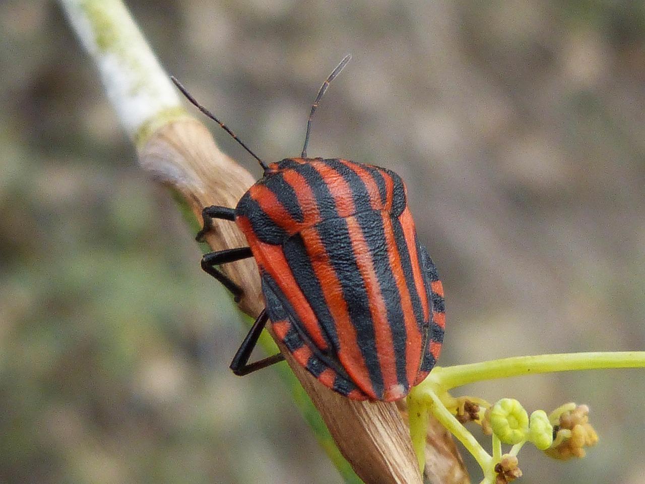полосатый жук фото