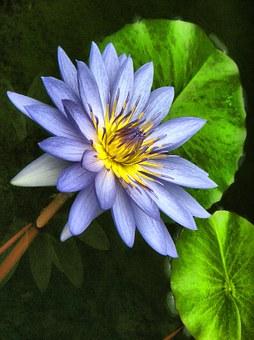 Fleur, Lotus, Nature, Plantes, Lily