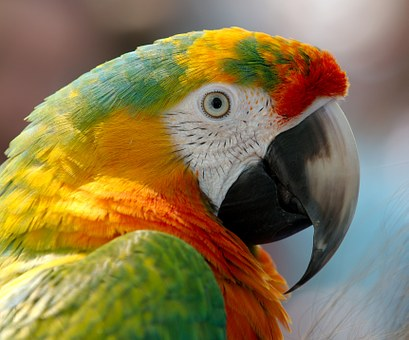 Macaw, Parrot, Bird, Hybrid, Red, Green