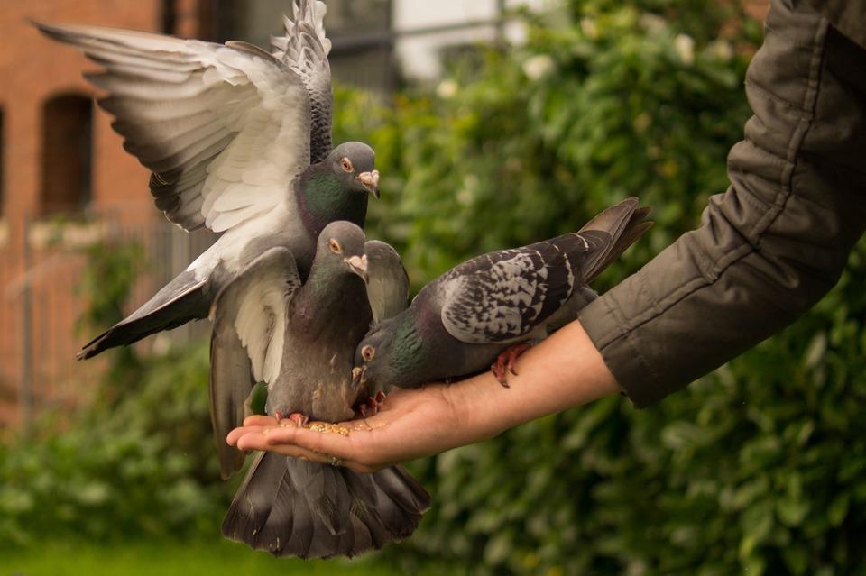 Голубь, Рука, Лица, Кормление, Крылья, Птица, Любовь