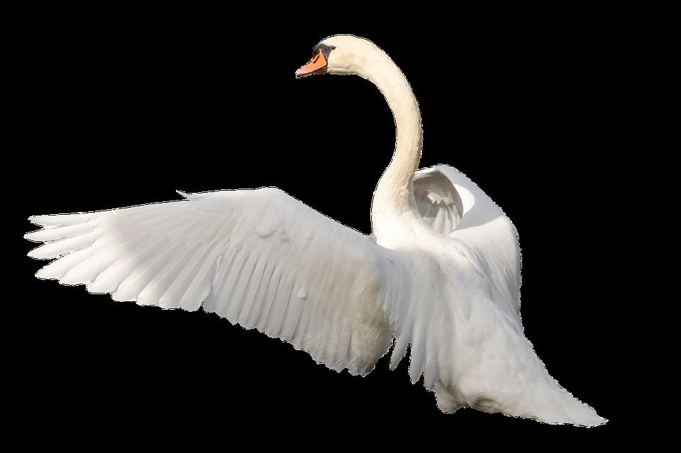 Lebădă Pasăre Penaj Imagine Gratuită Pe Pixabay