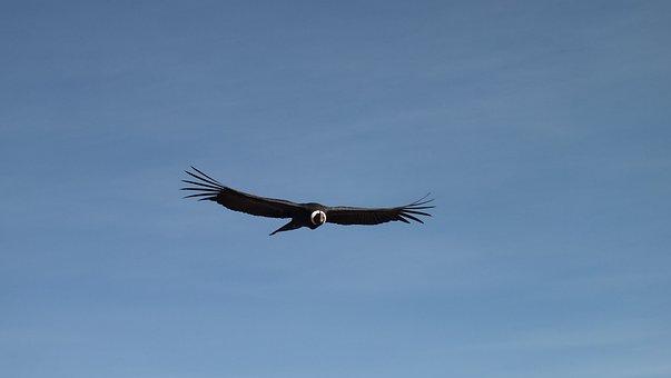 Cóndor, Vuelo, Cielo, Perú, Volando