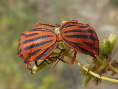 Beetle Reproduction Free photo: Bugs, Coup...