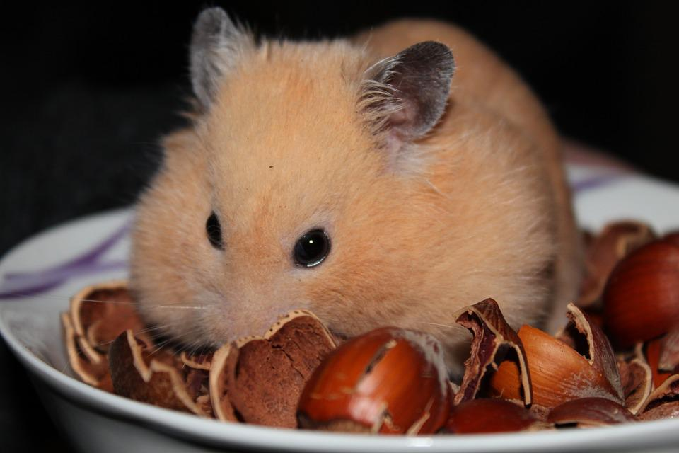 Free Photo Goldhamster Hamster Animal Nuts Free