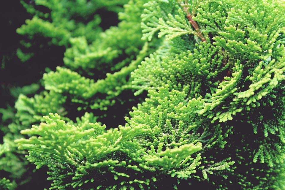 ヒノキ, サイプレス, ヒノキの木, 木, 緑, 植物, 自然, 庭, Hinokyヒノキ, シェルヒノキ
