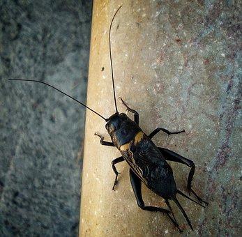 クリケット, 昆虫, スズムシ, 夏, 自然, マクロ