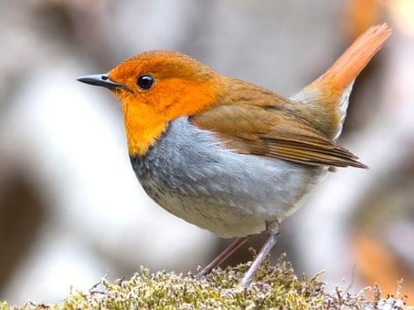robin images pixabay download free pictures