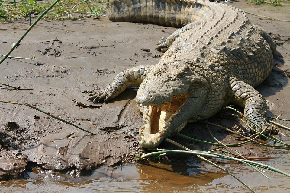 Crocodile, Nil, Éthiopie, Lac Chamo