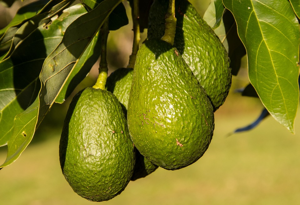 hass-avocado-945418_960_720.jpg