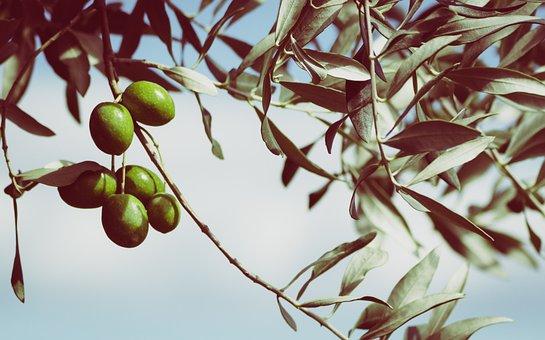 Olives, Olive Tree, Fruits, Tree