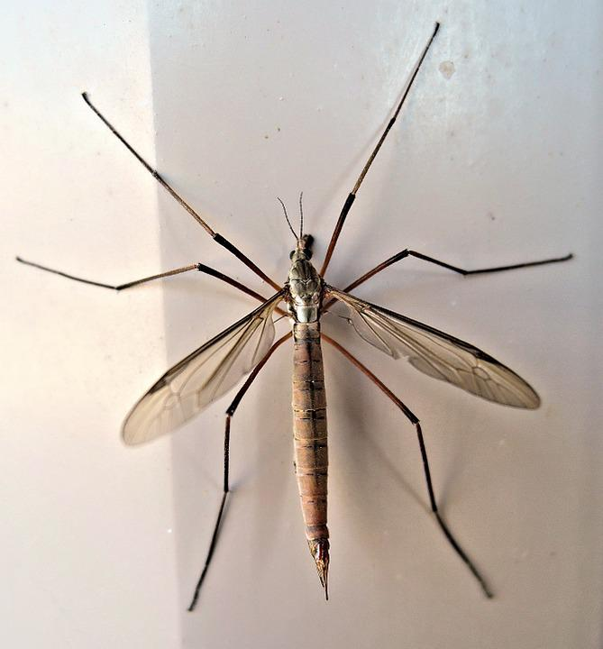 crane fly insect late summer free photo on pixabay. Black Bedroom Furniture Sets. Home Design Ideas