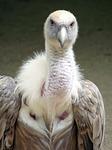 griffon vulture, vulture, griffon