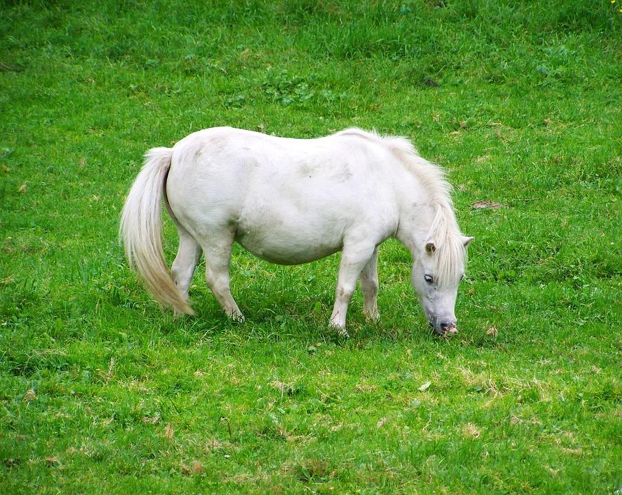 White Pony Horse Hoofed 183 Free Photo On Pixabay