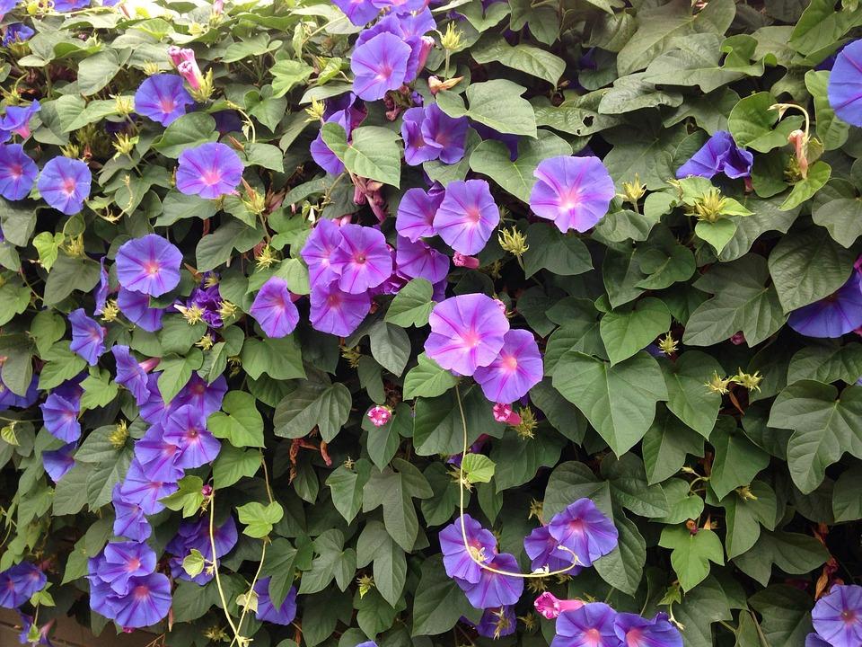 photo gratuite fleurs bleues ipom e image gratuite sur. Black Bedroom Furniture Sets. Home Design Ideas
