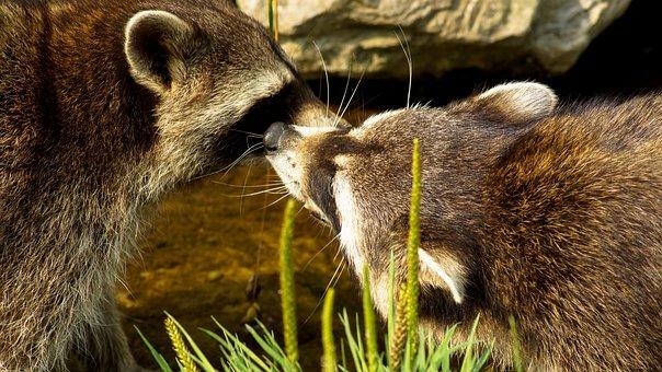 Raccoon, Animal, Mammal, Nature