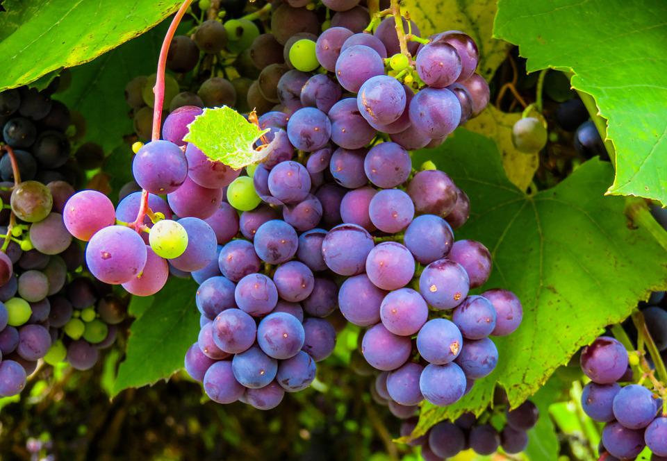 Autumn, Grapes, Grape, Vine, Fruit, Winegrowing