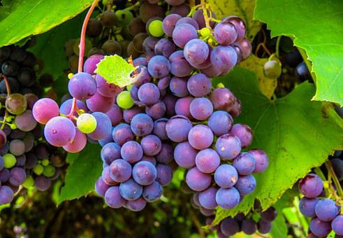 4,000+ Grapes Pictures and Images in HD - Pixabay - Pixabay