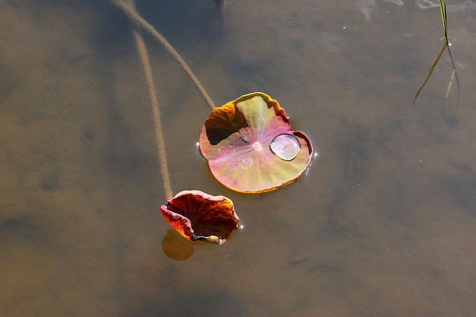 荷叶,湖,自来水厂,大自然,阴虱,叶,扑簌怎么样才算植物图片