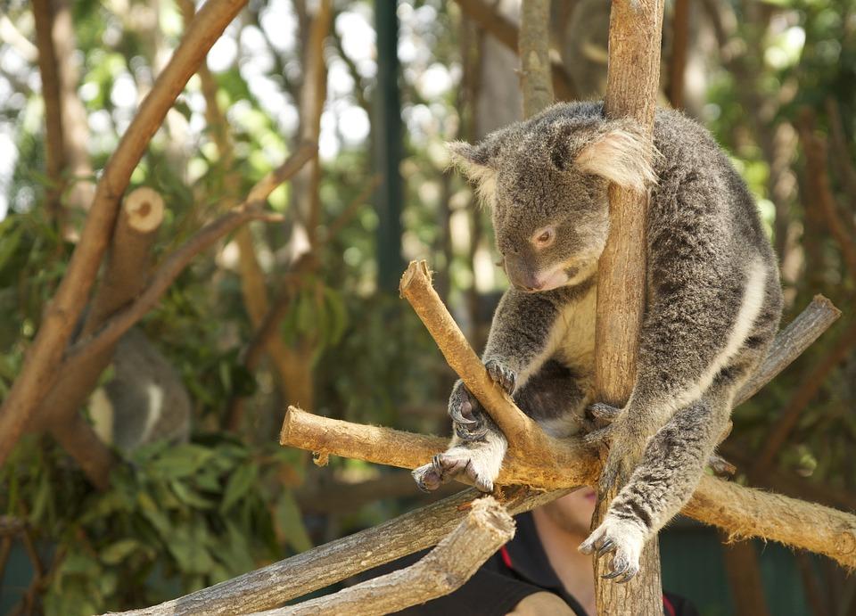 Trägheit, Faulheit, Müde, Koala
