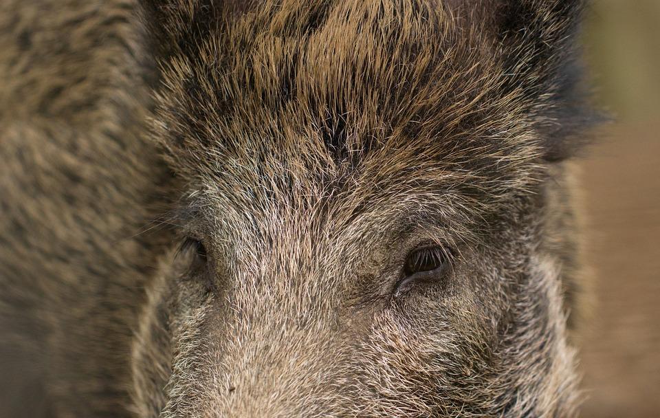 photo gratuite  de porcs  verrat  sanglier - image gratuite sur pixabay