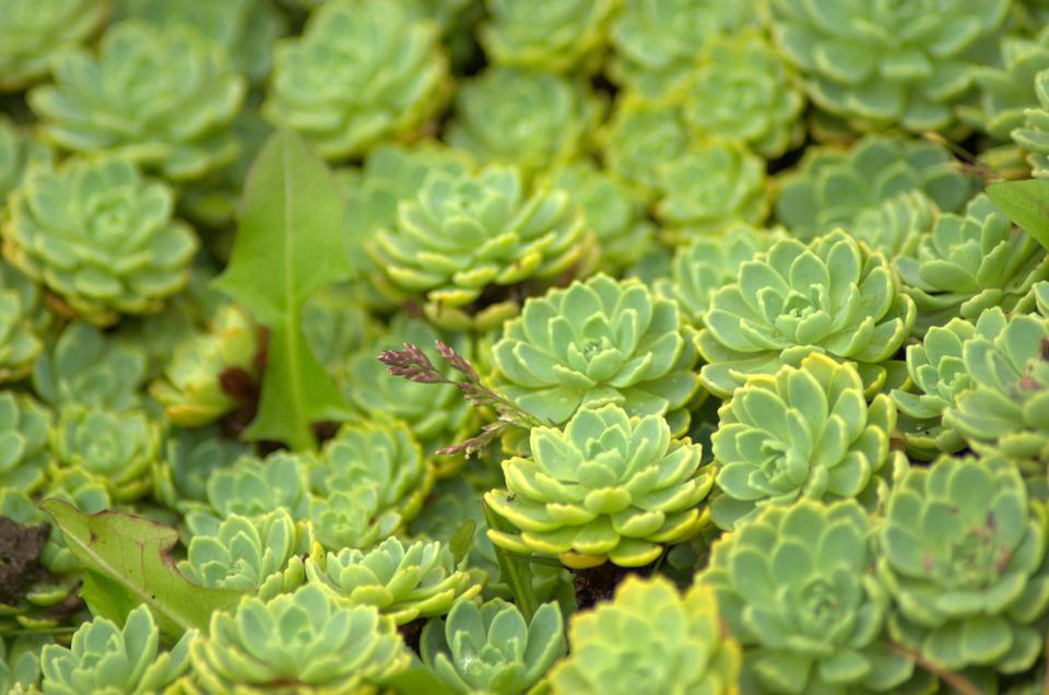 Photo gratuite sedum vert plante fleur nature image for Plante vivace verte