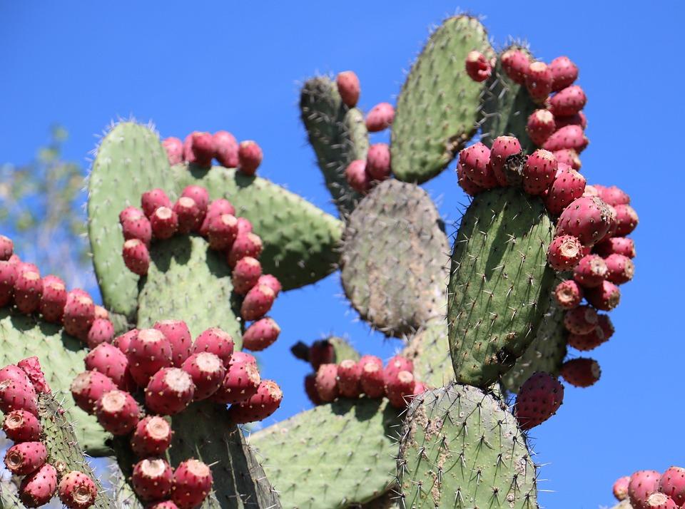 무료 사진: 선인장, 노팔 선인장, 의욕, 배, 사막, 자연의, 멕시코 ...