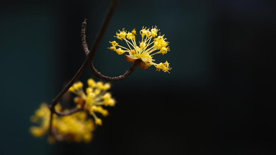 Cornus Early Spring Yellow Flowers Free Photo On Pixabay