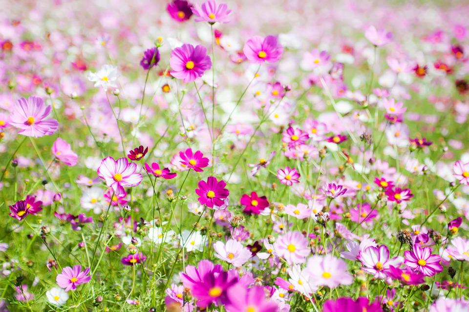 コスモスの花言葉と由来・オレンジ/黒/ピンクなど色別の花言葉