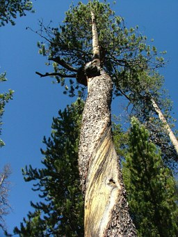 Tree, Forest, Twisted, Bark, Pine
