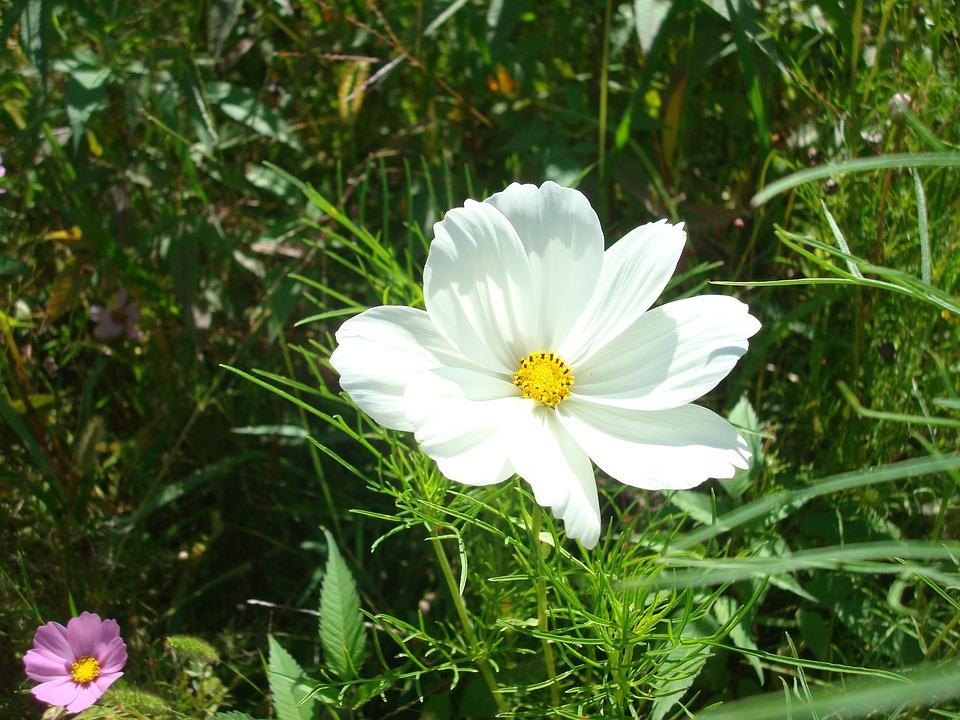 Blume Weiße Wiesenblume Wildblume · Kostenloses Foto auf Pixabay