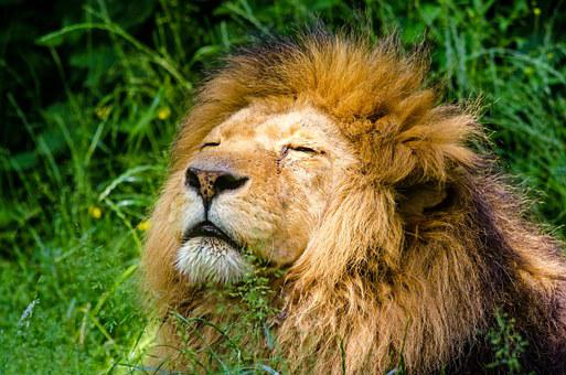 African Lion, Lion, Male, Mane, Lazy
