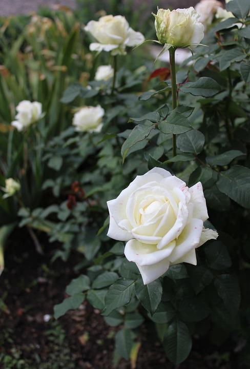 White Garden Rose Bush free photo: white, roses, flower, rose bush - free image on