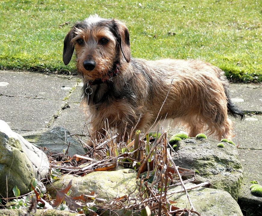 Free Photo Kaninchen Dachshund Animal Dog Free Image