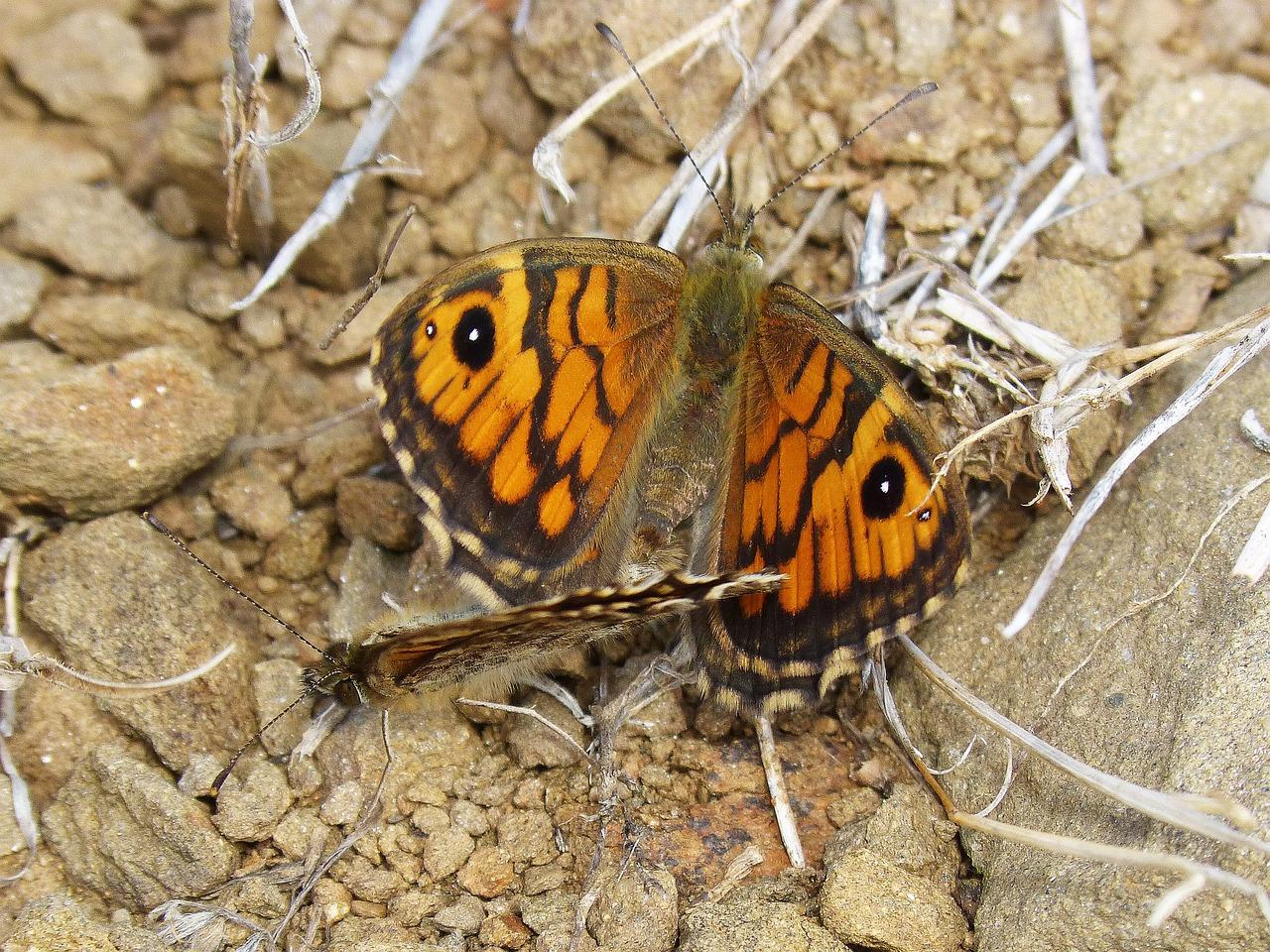 butterflies-sex
