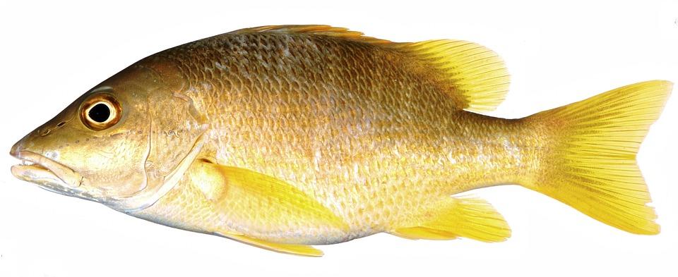 Yellow Fish Snapper Yellow Fin Fish Fish Yellow
