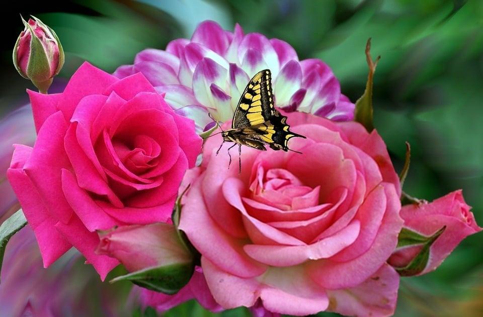 Rosa Rosas Imagen Gratis En Pixabay