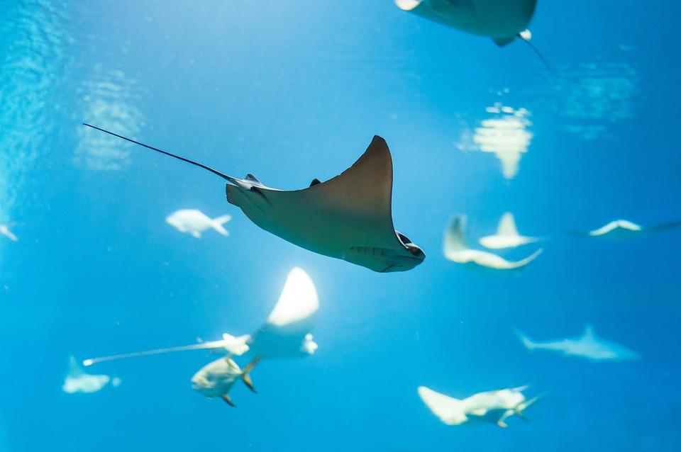 ray fish water free photo on pixabay