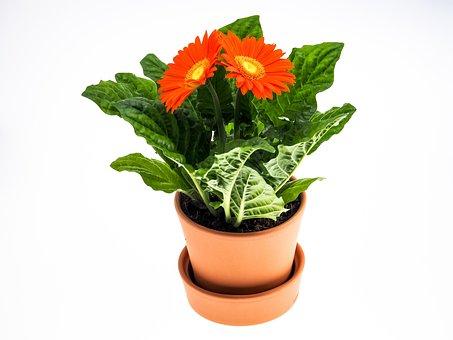 Gerbera, Flower, Pot, Plant, Close