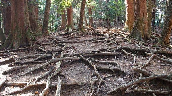Japan, Mount Kurama, Woods, Tree, Wood