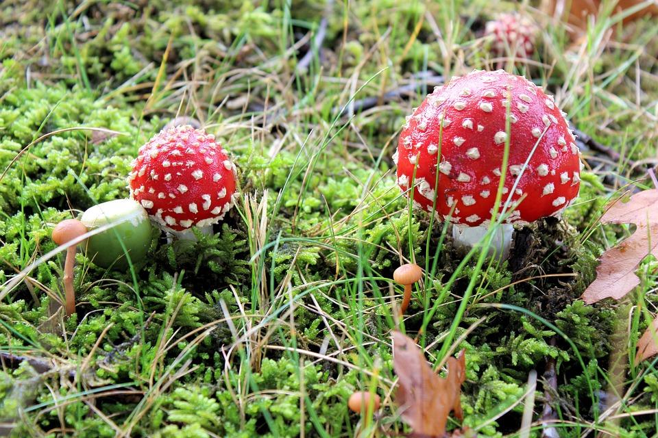 rød svamp med hvide prikker