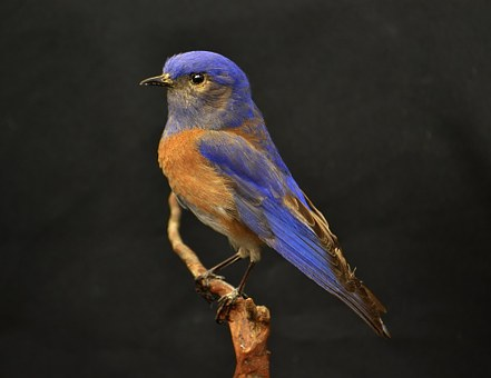 Western, Bluebird, Blue, Bird, Brown