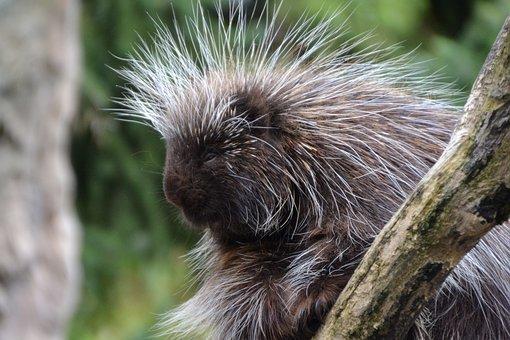 Porcupines, Erethizontidae, Animal, Zoo