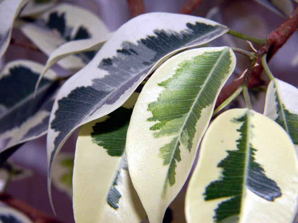 Pipal, 花, 出不精, イチジクベンジャミン, 葉, 多彩, まだらの, 斑入りの葉, イチジクの葉