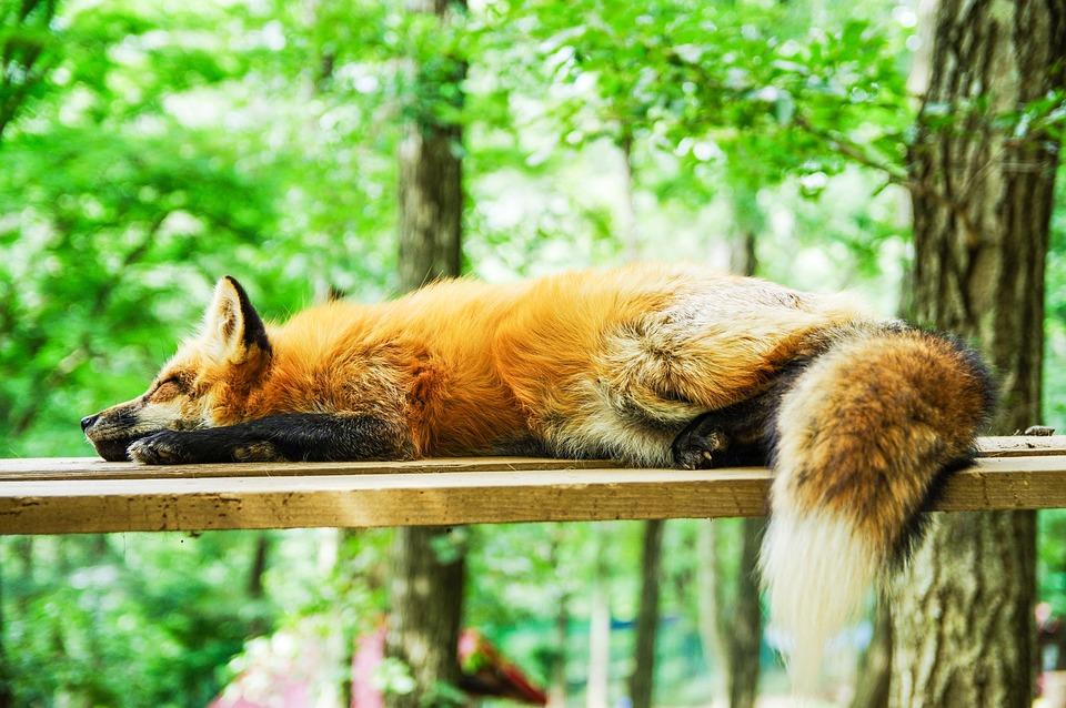 Animale, Fox, Sonno, Dormire, Carino