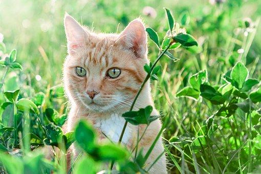 自然、猫、フィールド、牧草地、草